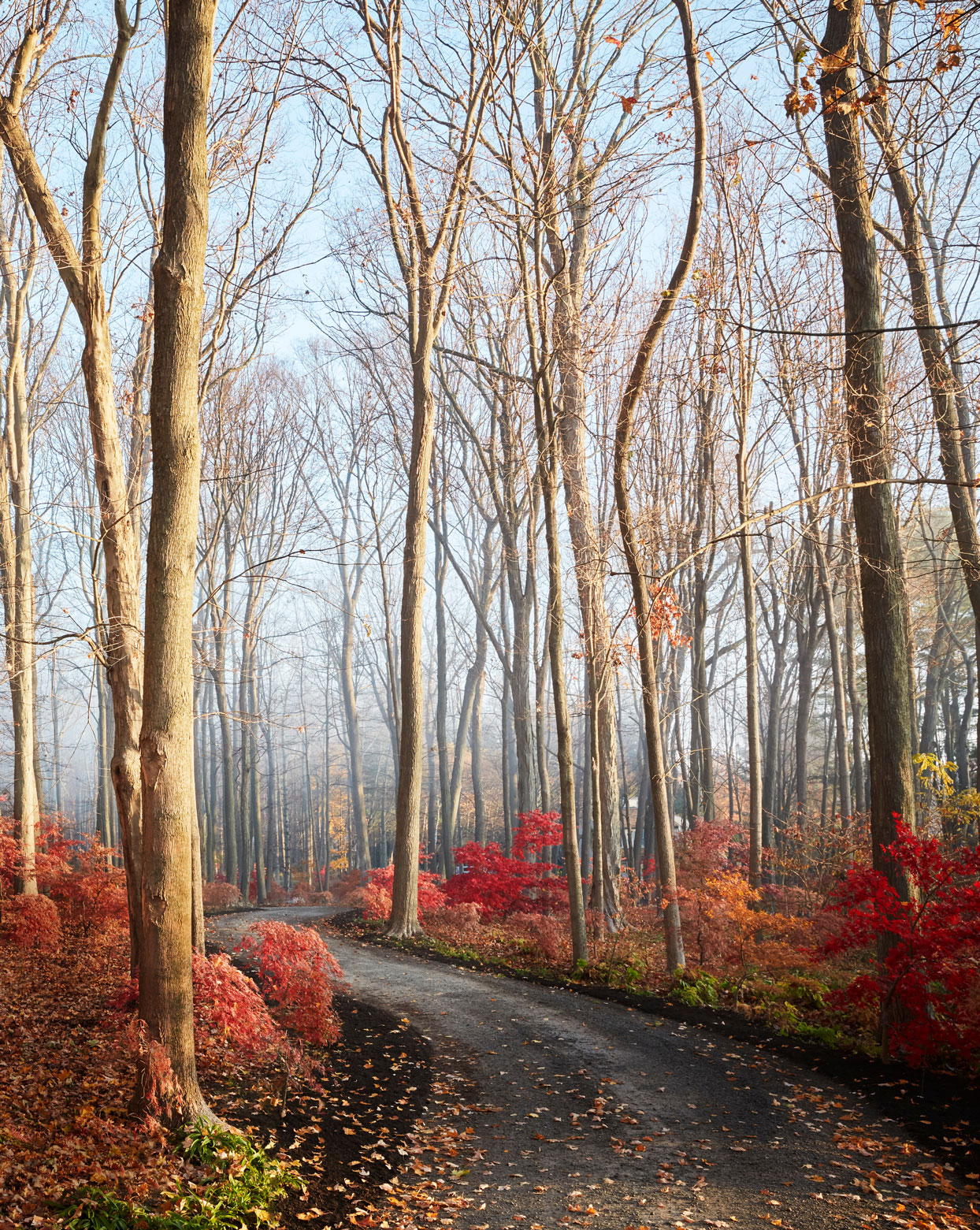 grove of japanese maple trees in fall