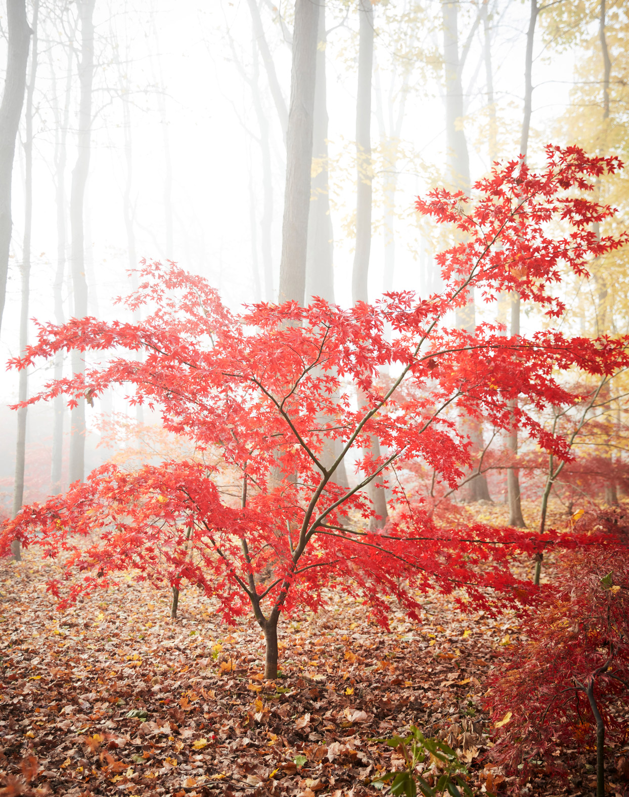 red japanese maple tree in forest