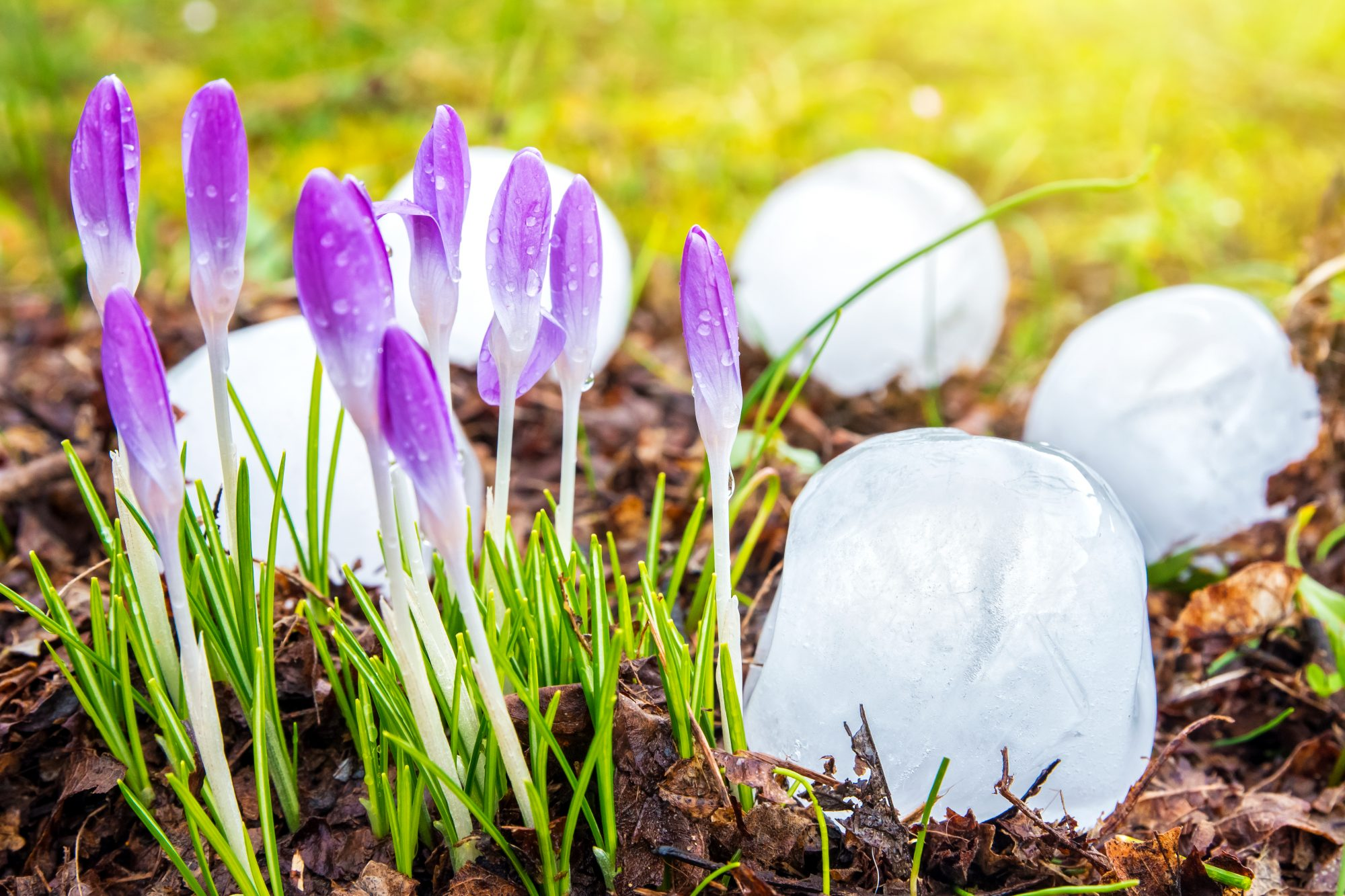 Group close-up of very big ice hailstones fallen from sky during a violent hailstorm in middle of plants and crocus flowers in bud in march end winter season