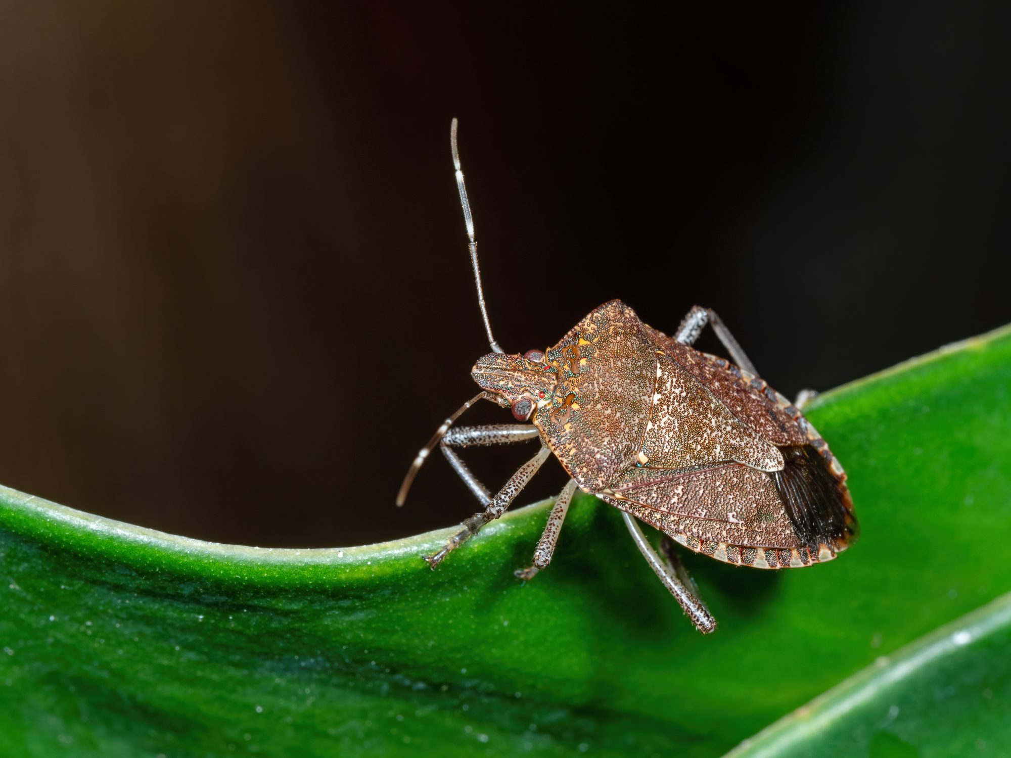 Macro Photo of stink Bug on The Edge of The Leaf