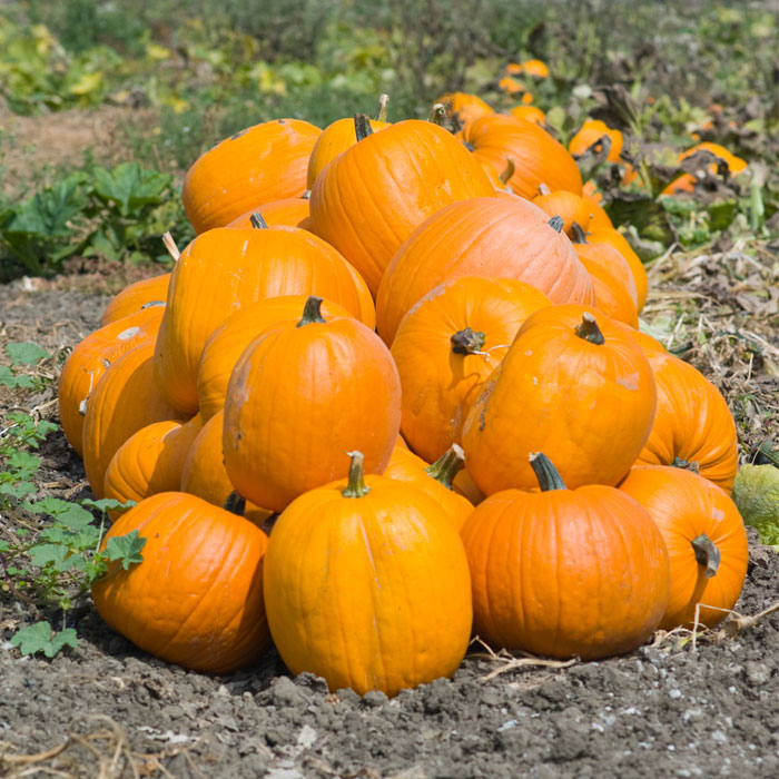 There Are More Than 50 Varieties of Pumpkin