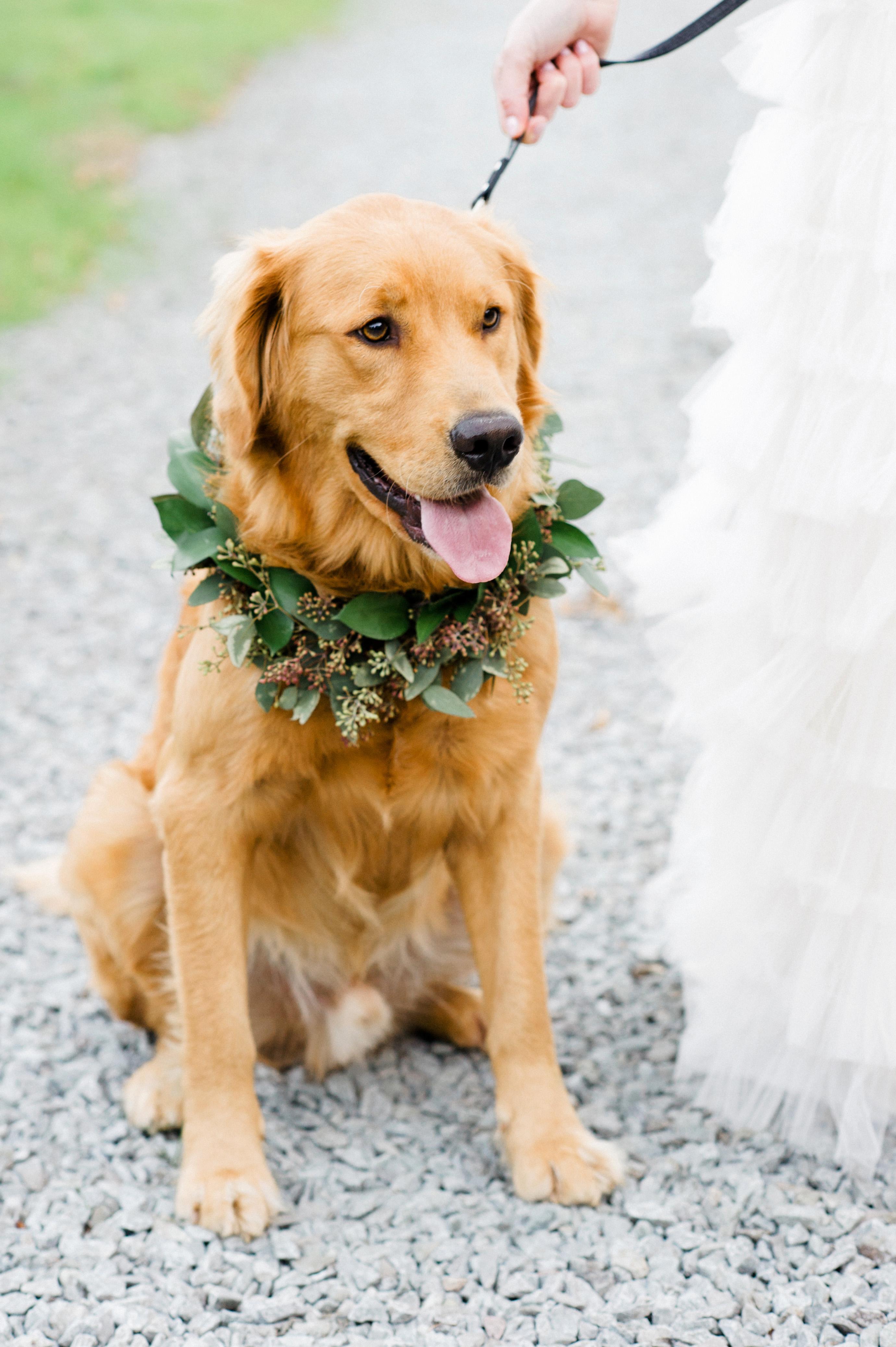 dog wedding golden retriever garland collar