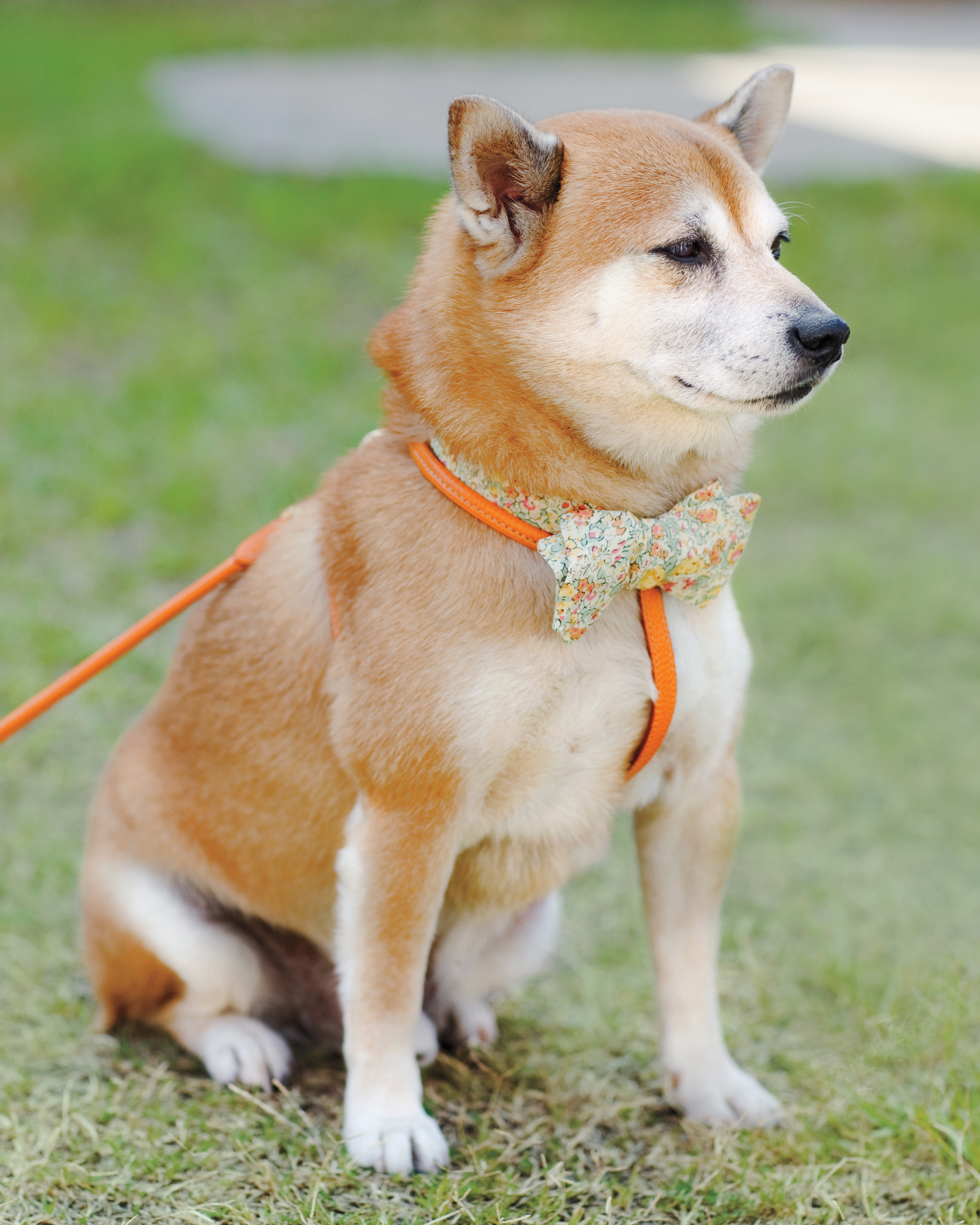 Attila the Shibu Inu