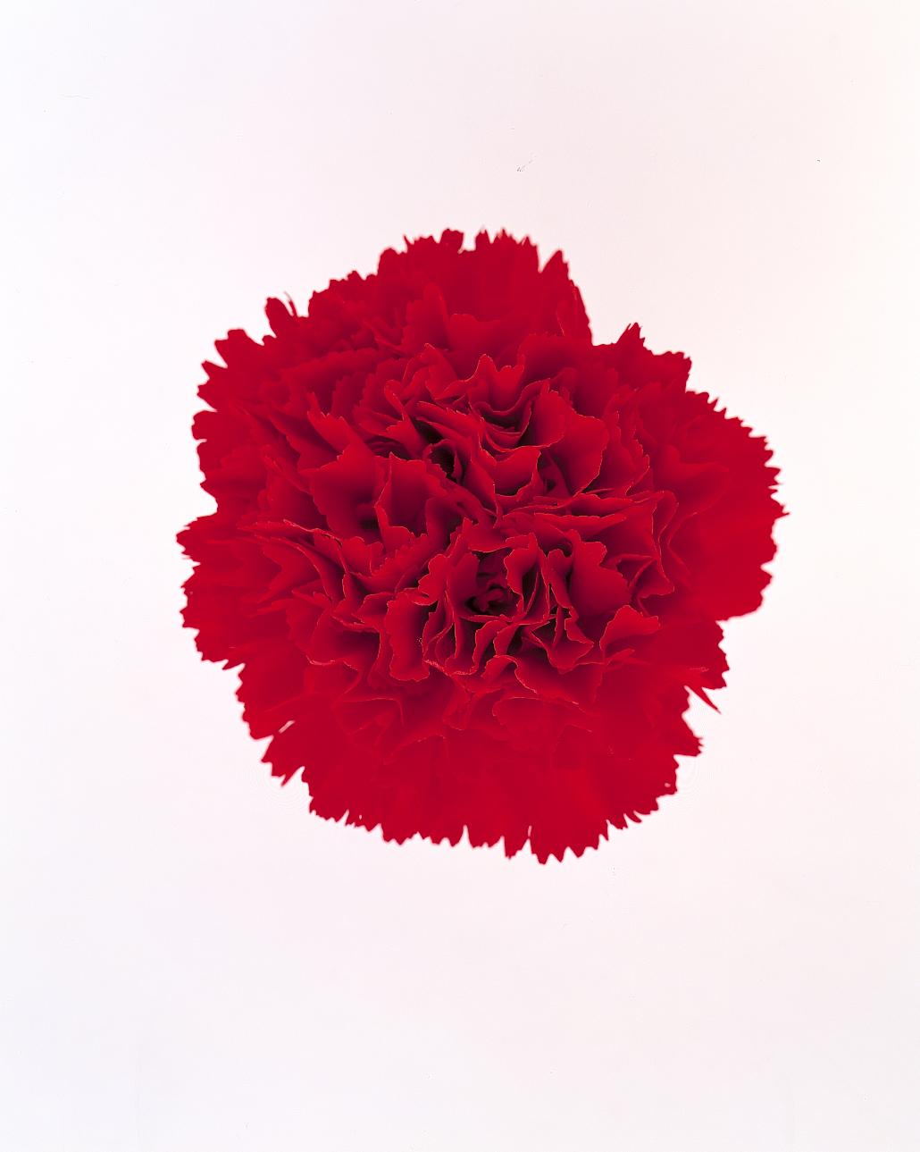 flower-glossary-carnation-red-a98432-0415.jpg