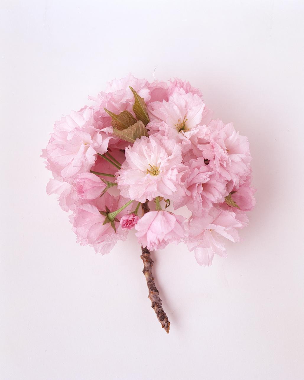 flower-glossary-cherry-blossom-a98432-0415.jpg