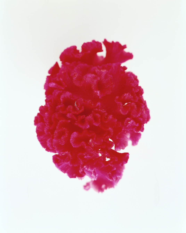 flower-glossary-coxcomb-pink-a98432-0415.jpg