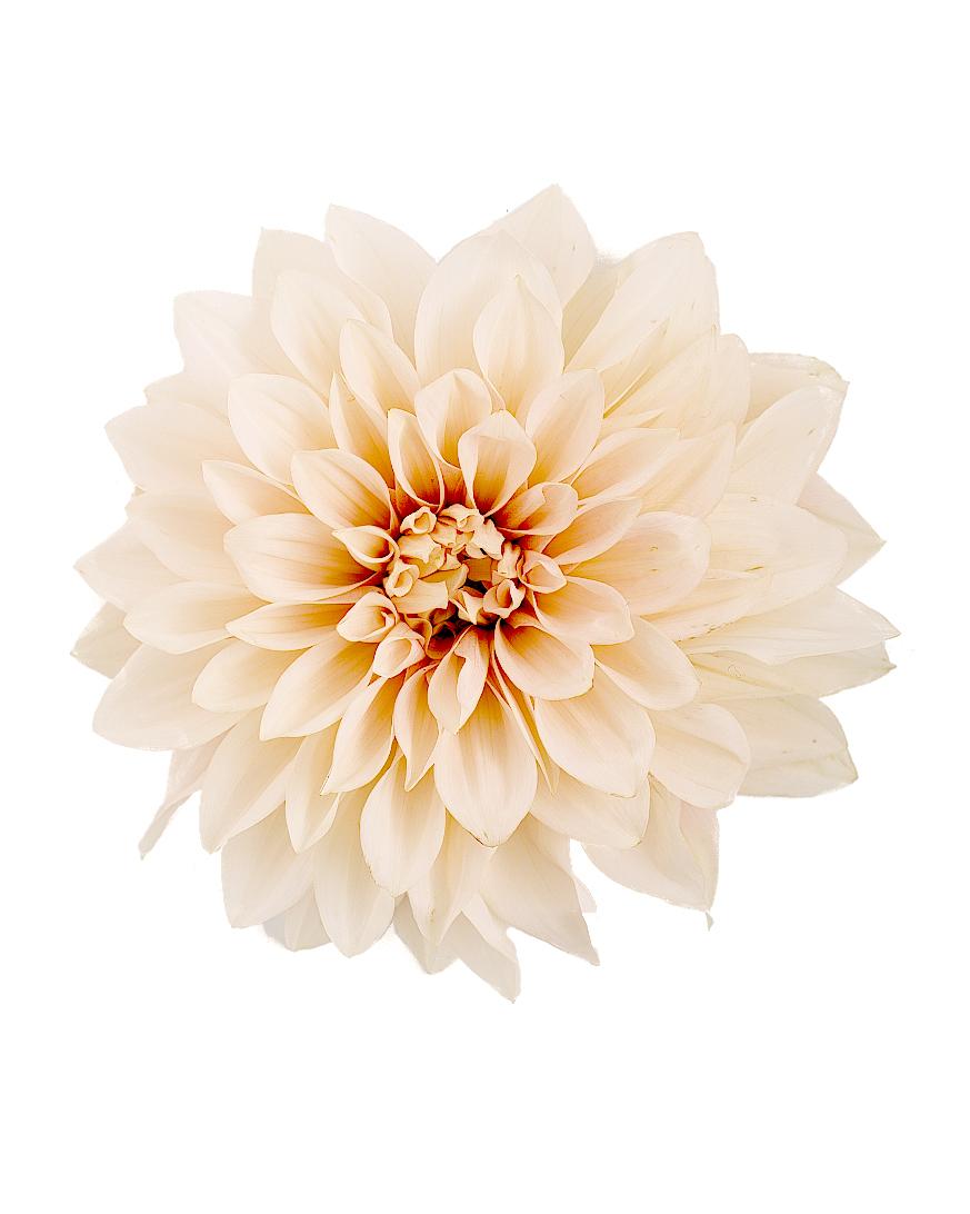 flower-glossary-dahlia-cafeaulait-a98432-0415.jpg