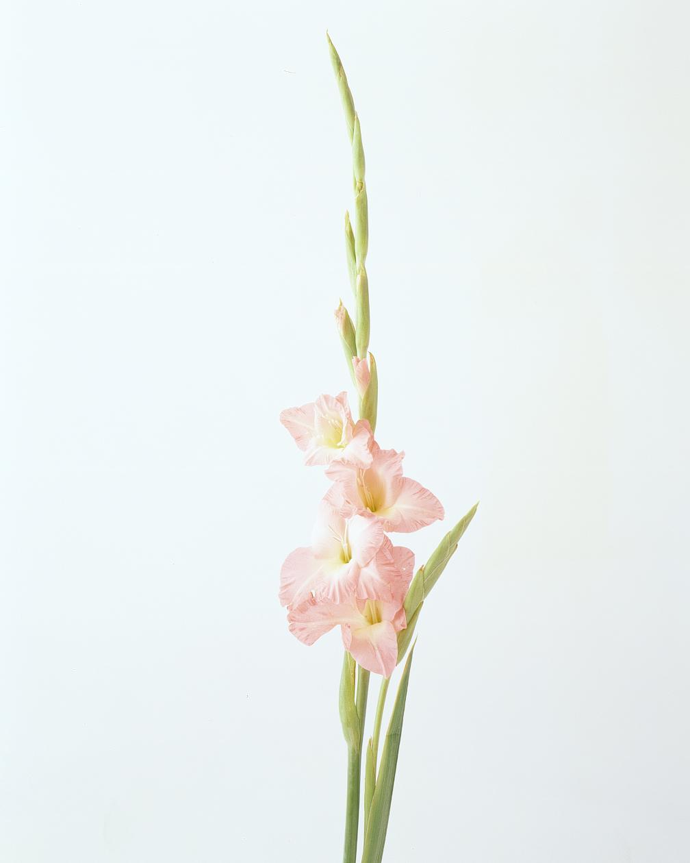 flower-glossary-gladiola-a98432-0415.jpg