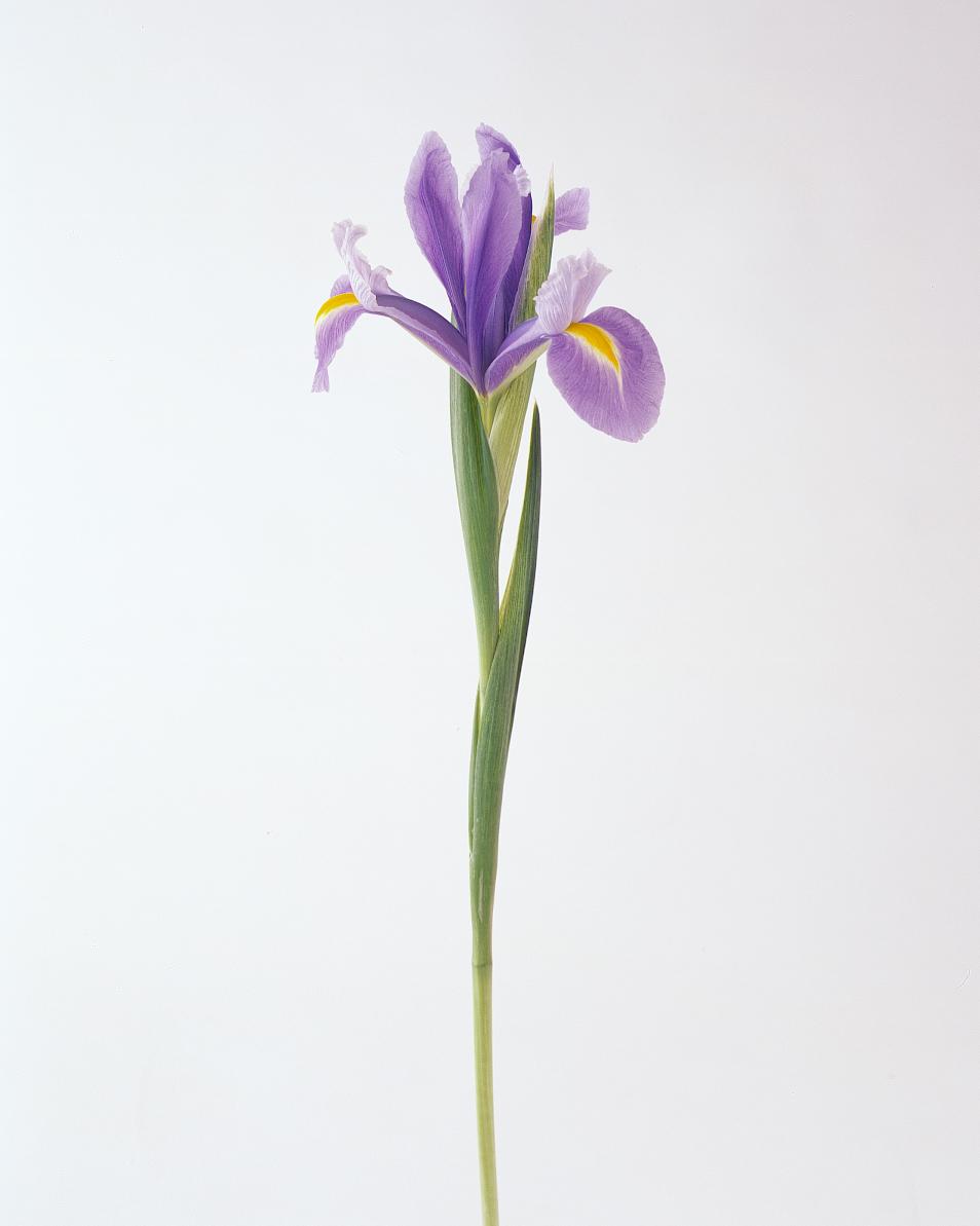 flower-glossary-iris-a98432-0415.jpg