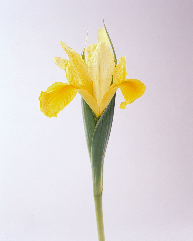 flower-glossary-iris-yellow-a98432-0415.jpg