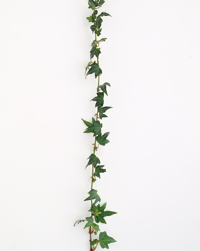 flower-glossary-ivy-green-string-a98432-0415.jpg