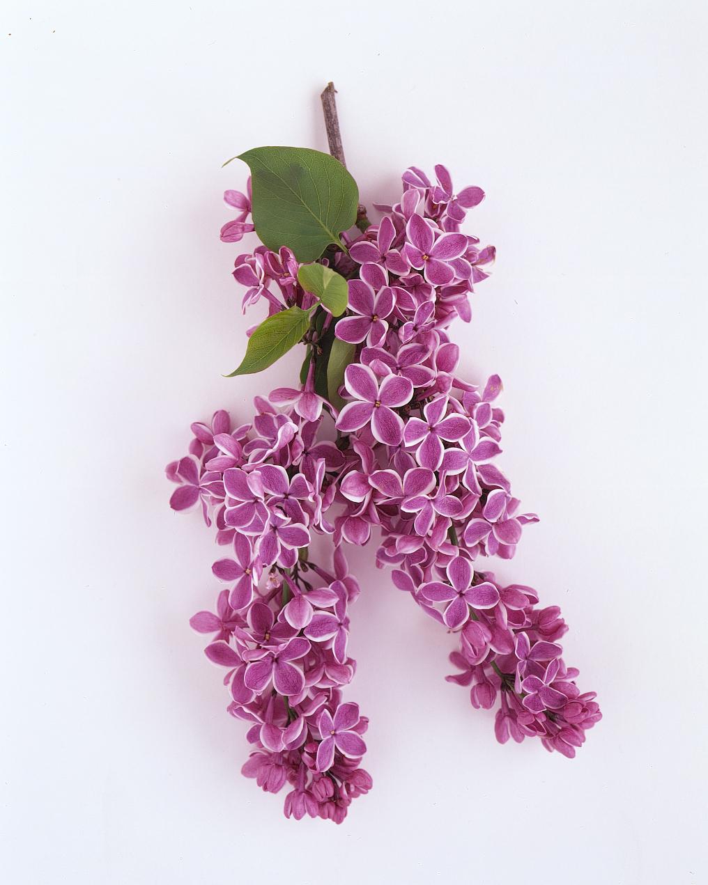 flower-glossary-lilac-purple-a9843204-0415.jpg