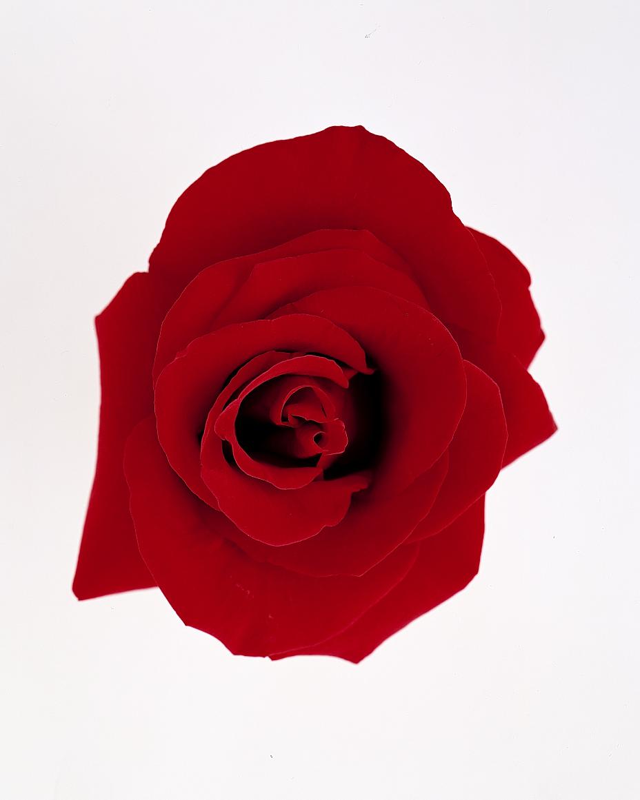 flower-glossary-rose-grand-prix-a98432-0415.jpg