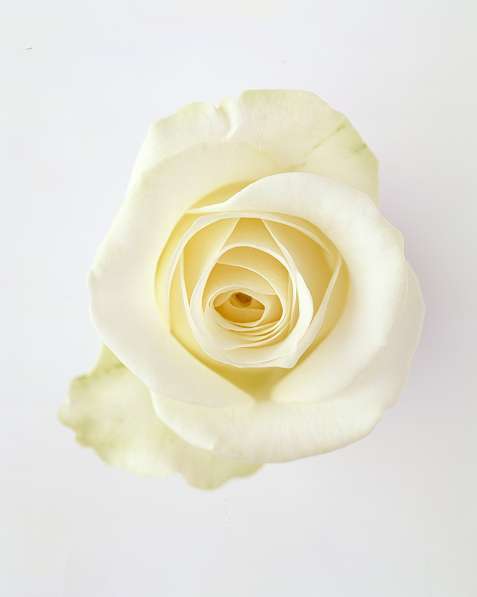 flower-glossary-rose-akito-white-a98432-0415.jpg