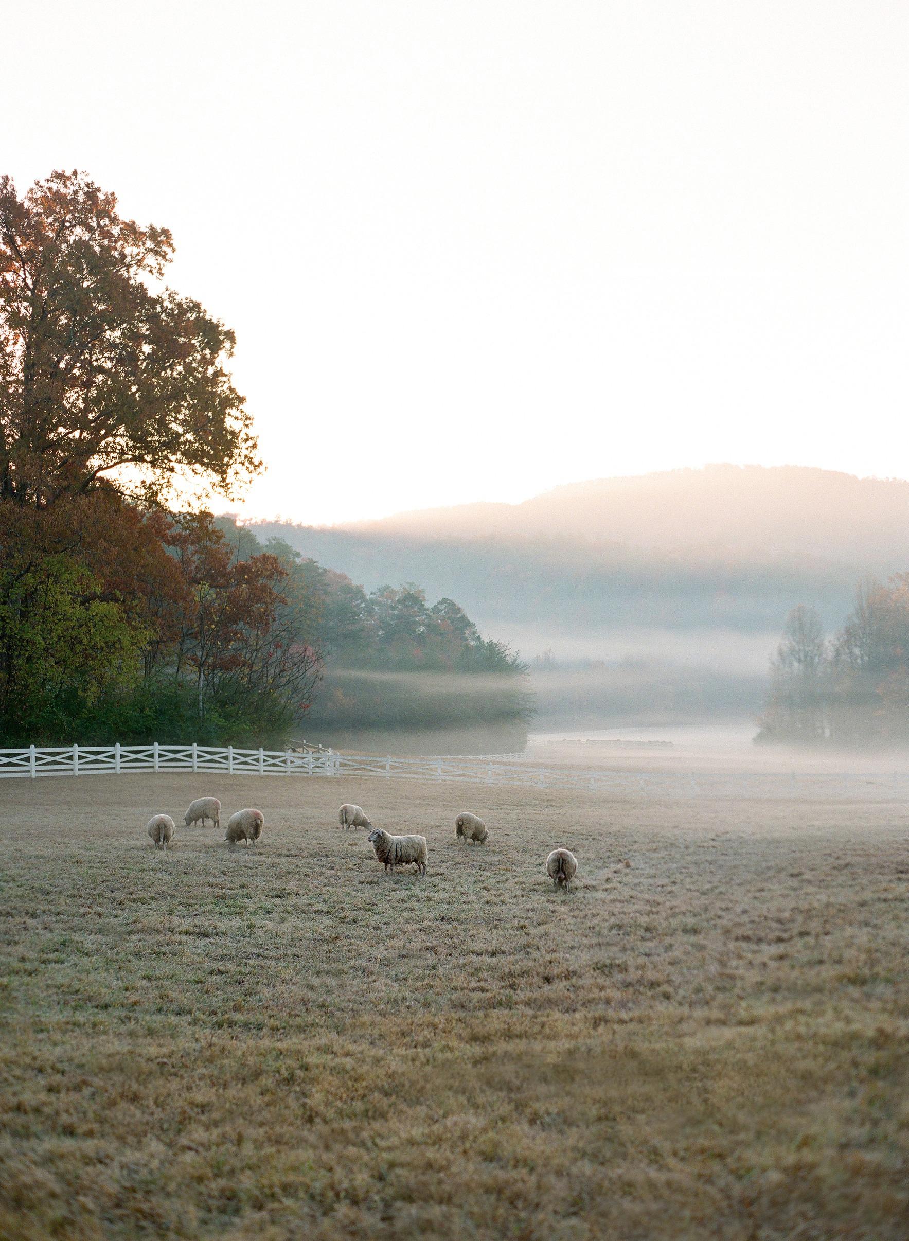 sheep landscape fog