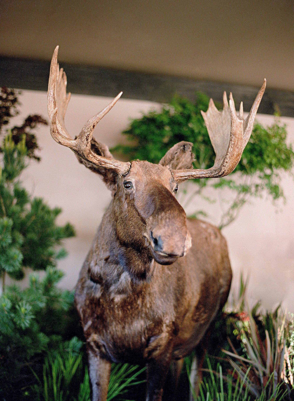 whitney zach wedding taxidermy moose