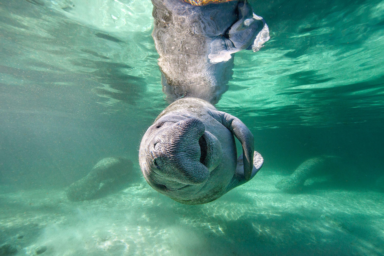 florida manatee swimming honeymoon animals