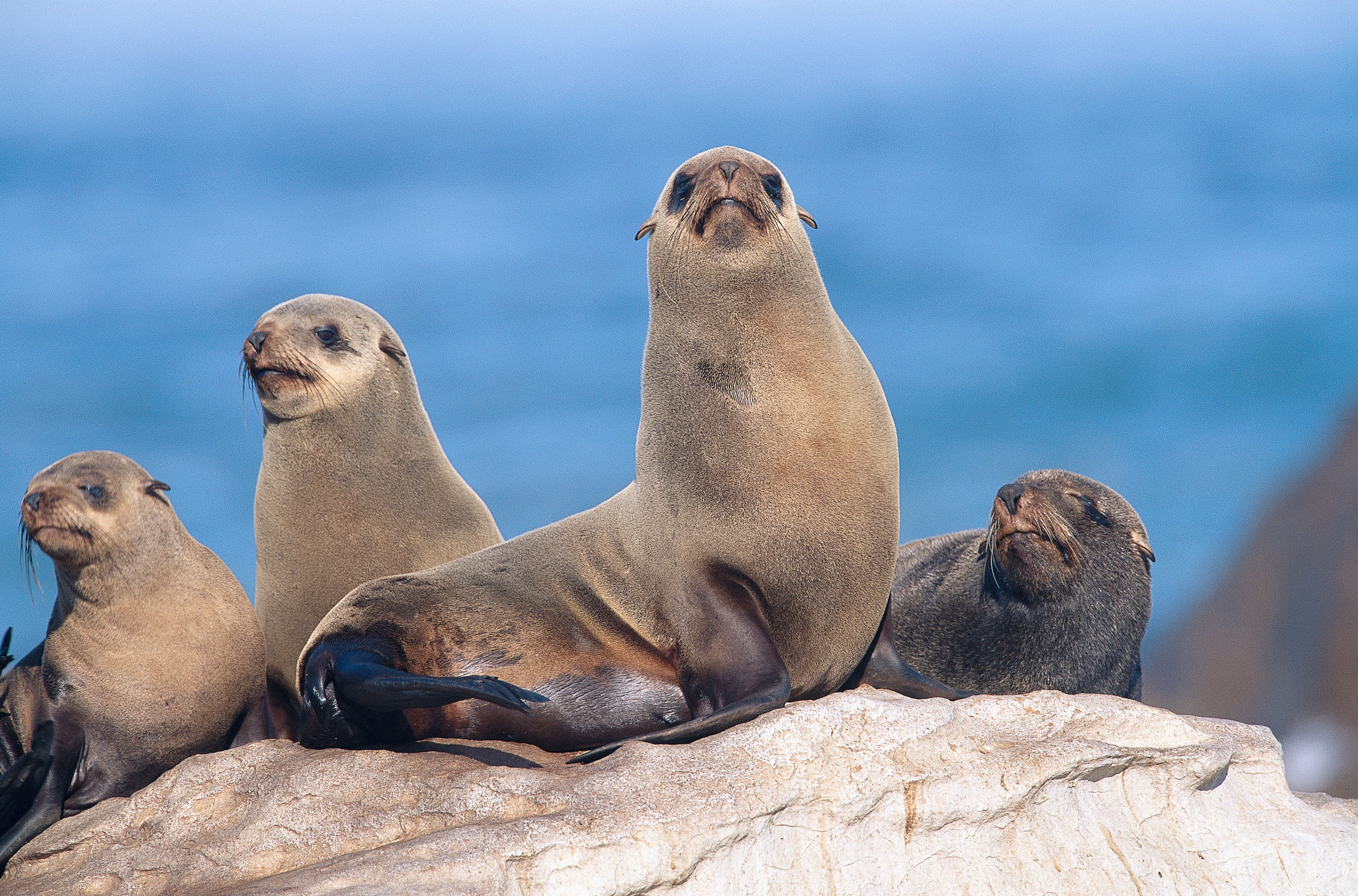south africa fur seals honeymoon swimming with animals