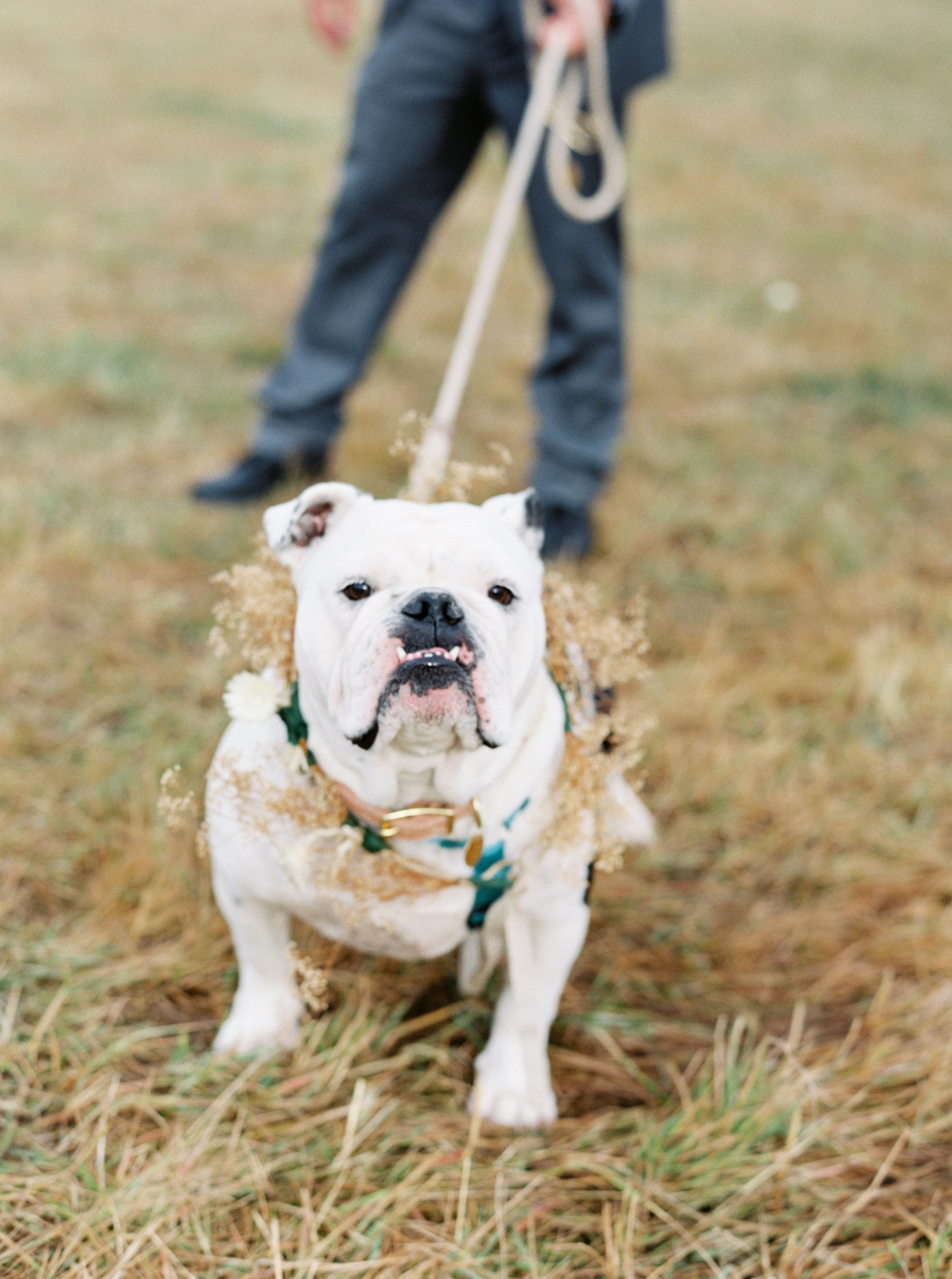 english bulldog wearing floral wreath