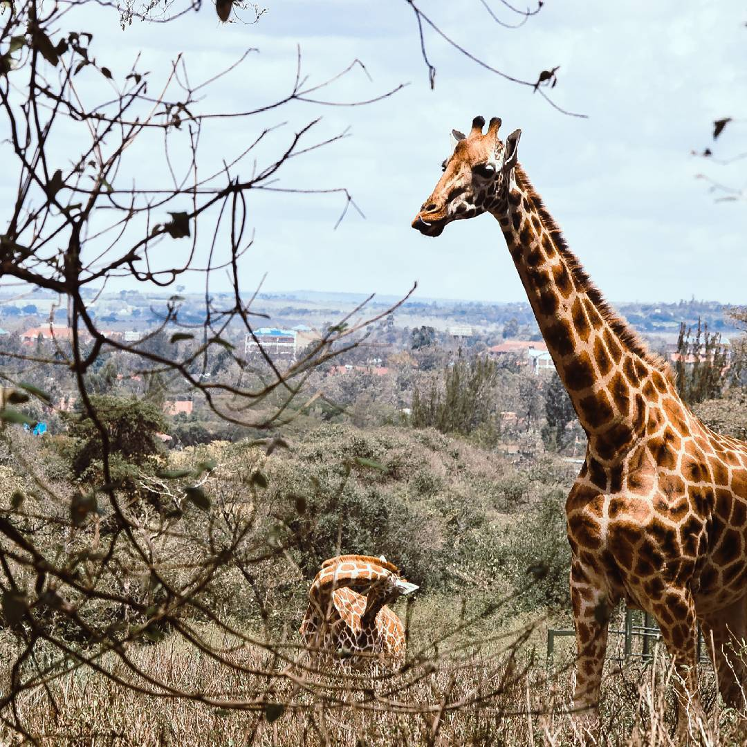 What to Do: Giraffe Centre
