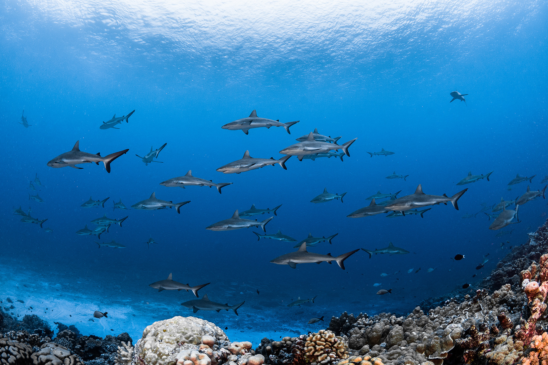 sharks swimming in blue water in rangiroa