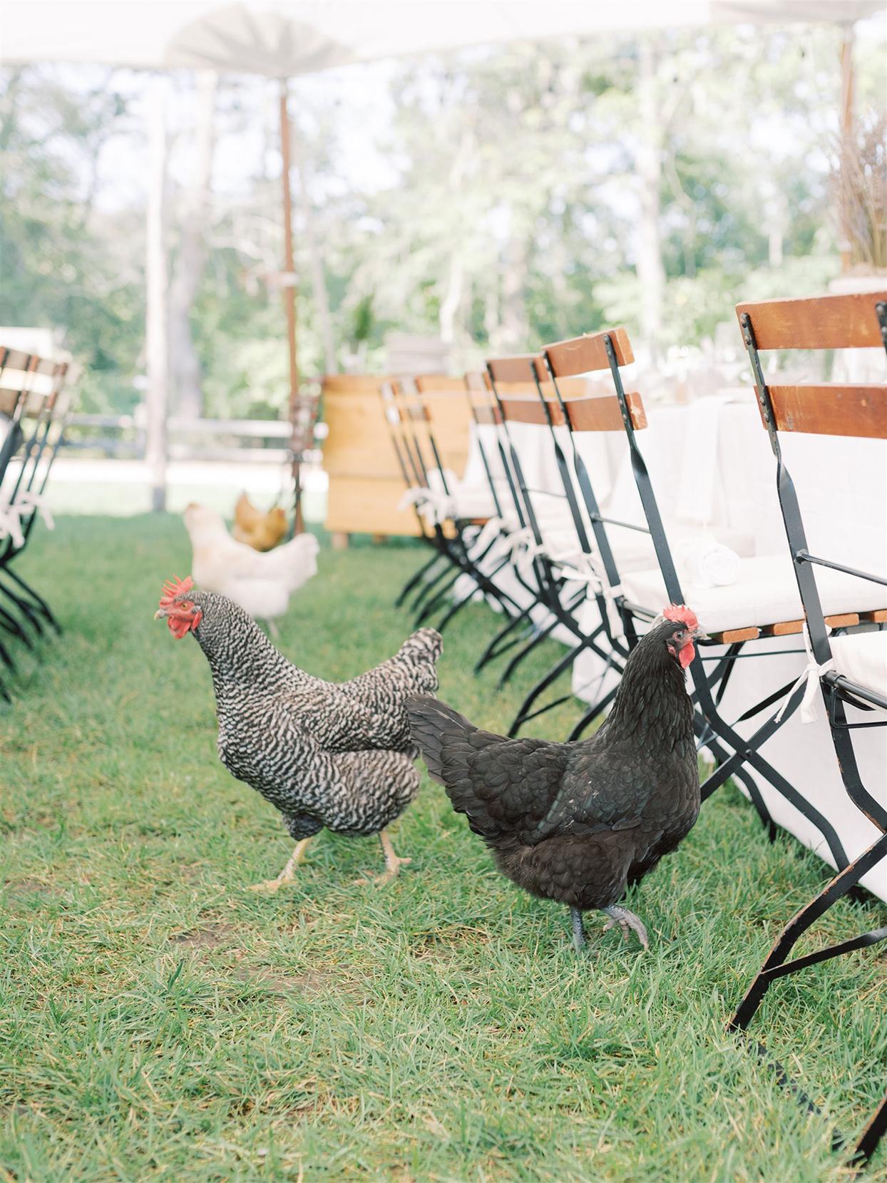 samantha cody wedding chickens walking around reception tables