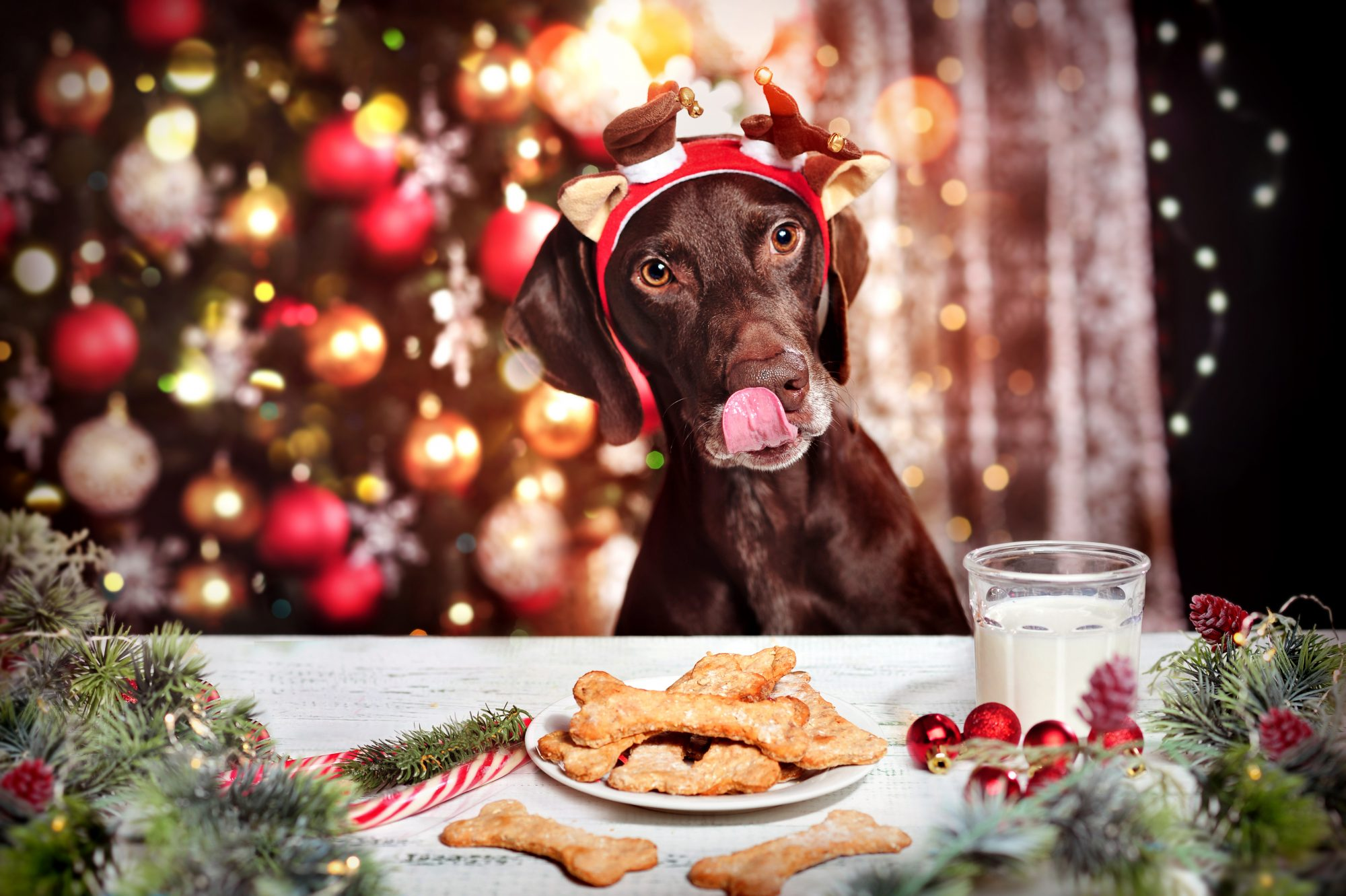 Dog Licking Snout at Christmas Table