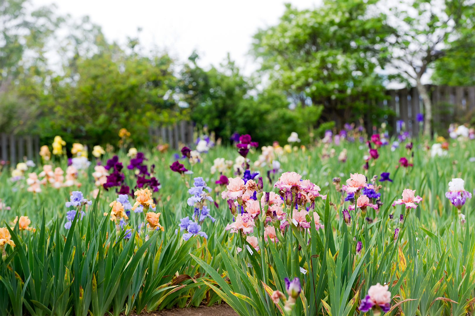 How to Grow Bearded Iris for a Garden Full of Color