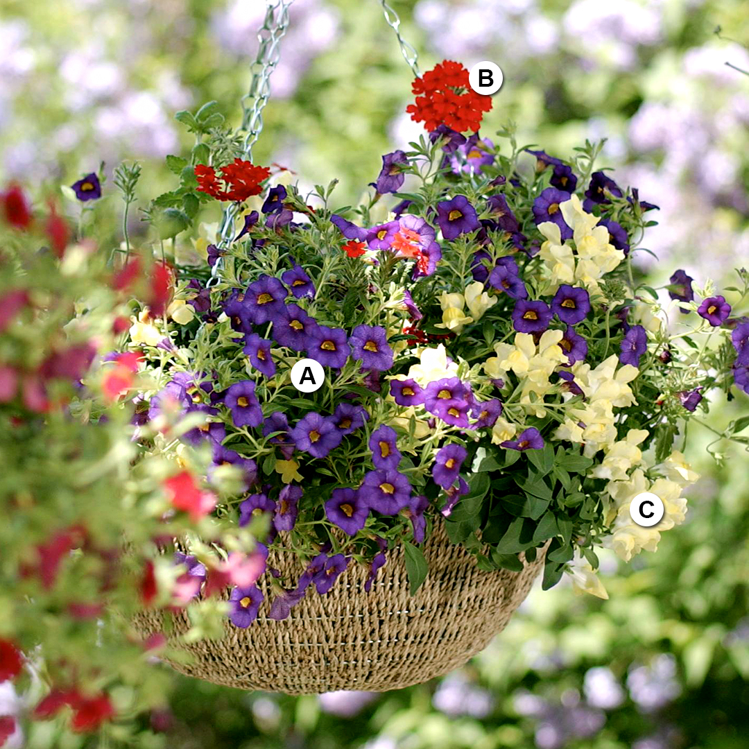 patriotic-themed hanging basket with calibrachoa