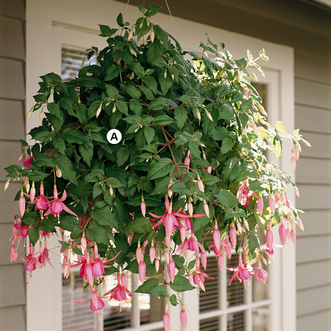 hanging basket with diva bridal pink fuchsia
