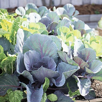 Cabbage plants growing in a rasied bed