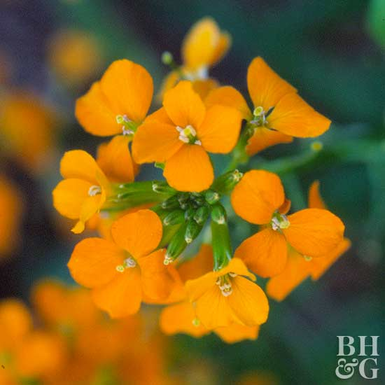 wallflower erysimum
