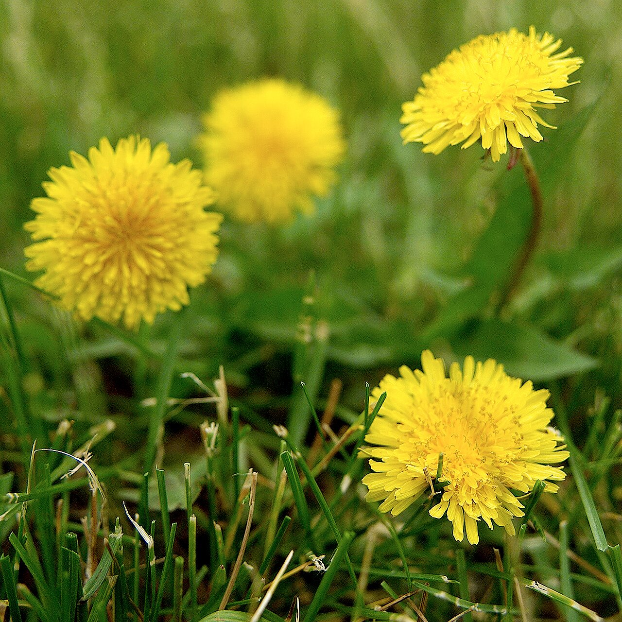 Why You Should Leave Dandelions In Your Yard Better Homes Gardens