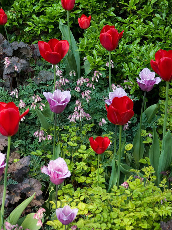 Tulips, bleeding heart, foliage, pink flowers, red flowers