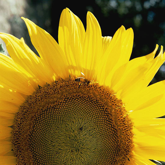 New_Very large close up of a sunflower