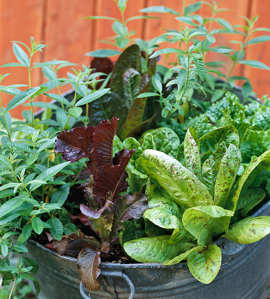 Lettuce and Lemon Verbena