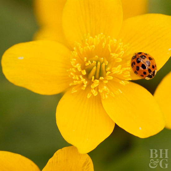 Asian beetle on yellow flowers