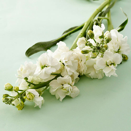 White Stock Flowers