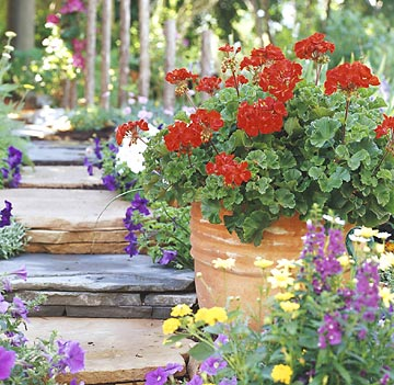 Terra-cotta pot with geraniums on stone steps