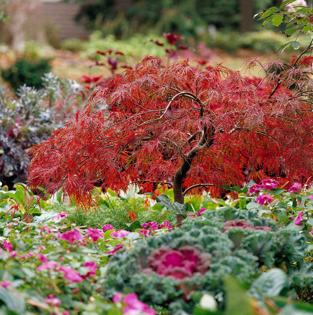 18 Excellent Japanese Maples Better Homes Gardens