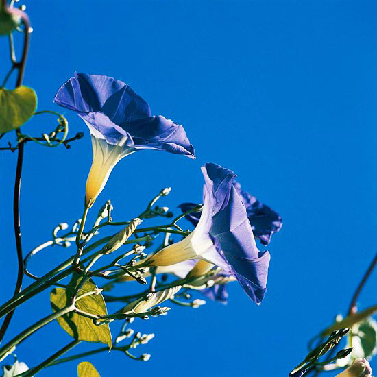 New_A few purple fowers with very blue sky in back