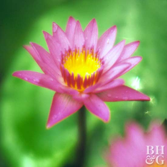 'Shirley Bryne' water lily
