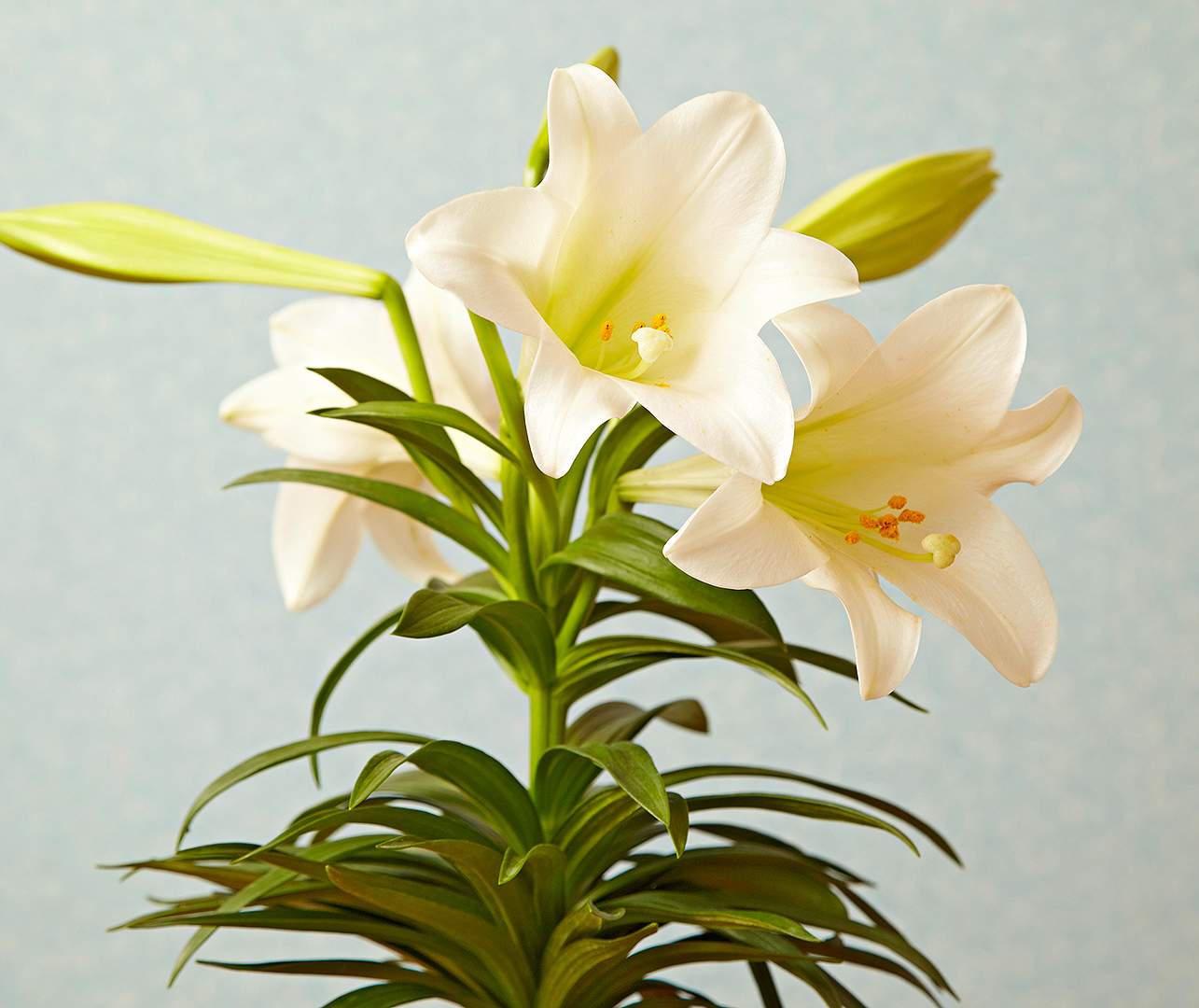closeup of easter lily