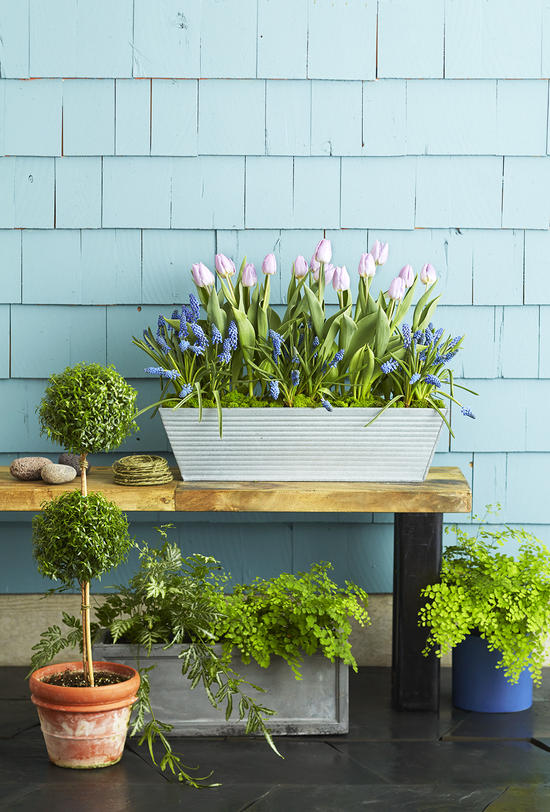 grape hyacinth and tulips in planter