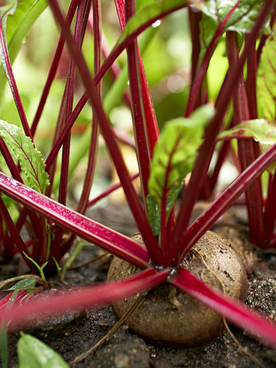 Beets Beta vulgaris