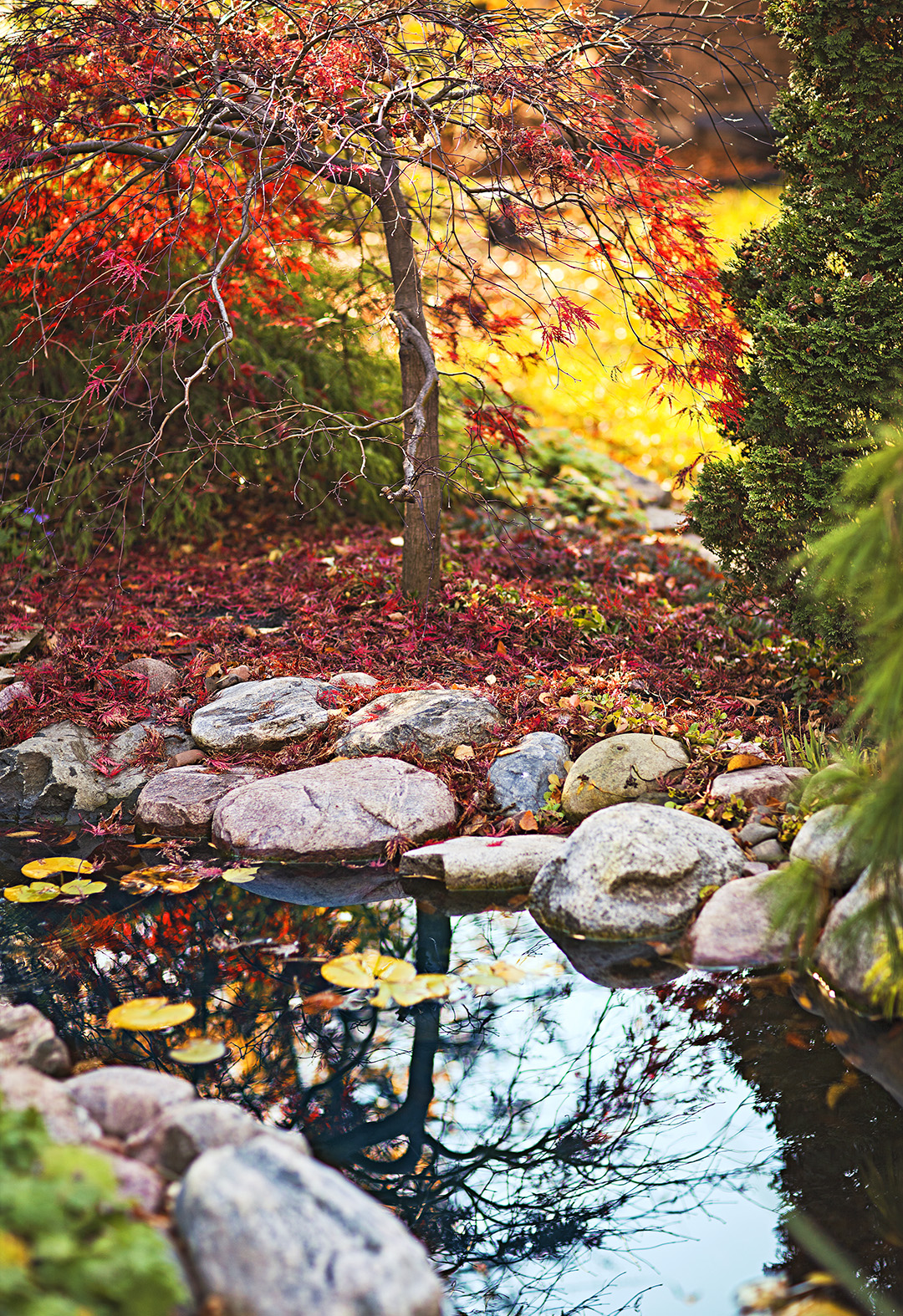 japanese maple next to stream with boulders