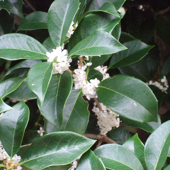 Fragrant tea olive (Osmanthus fragrans)