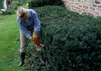 Shaping an Evergreen Shrub