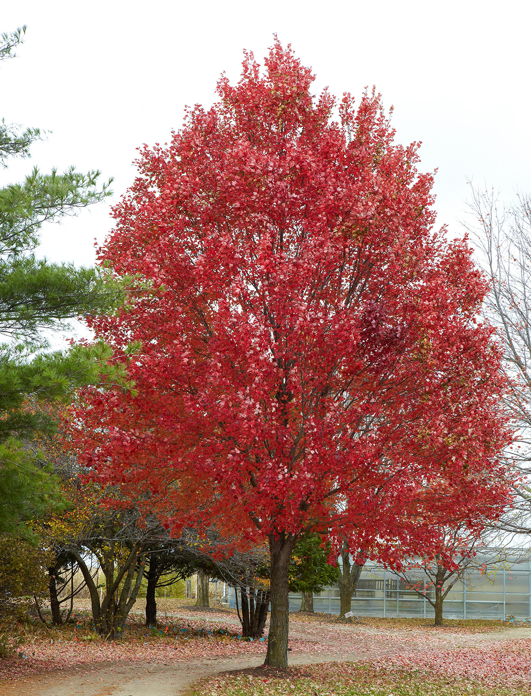 red maple acer rubrum tree along road