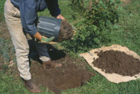Planting container-grown trees and shrubs, step 2